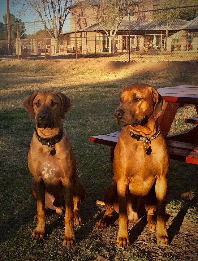 2 Rodesian Ridgebacks safe from the Arizona heat!