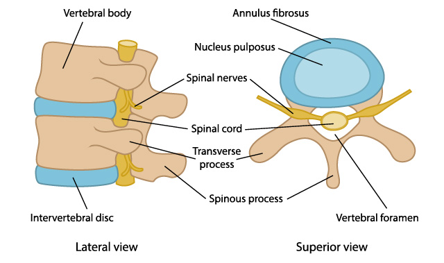 The anatomy of the vertebrae.
